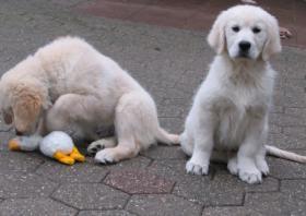 Foto 12 Golden Retriever - 2 Jungs. Mehr auf www.golden-retriever-elmpt.de