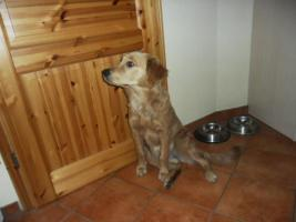Golden Retriever ( 9 Monate alt)