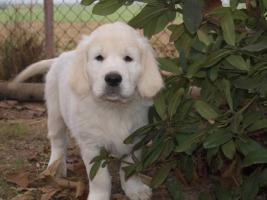 Golden Retriever - Welpen mit Pedigree