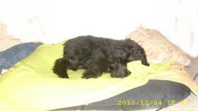 Foto 4 Goldendoodle Welpen
