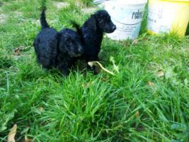 Foto 2 Goldendoodle ab sofort abzugeben