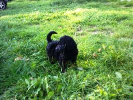 Foto 3 Goldendoodle ab sofort abzugeben
