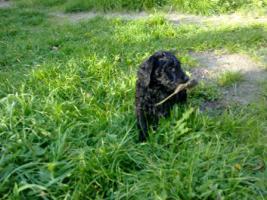 Foto 4 Goldendoodle ab sofort abzugeben