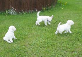 Foto 2 Goldendoodle - bester Familienhund!