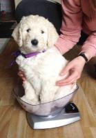 Foto 3 Goldendoodle - bester Familienhund!