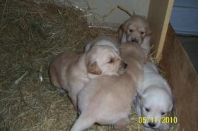 Goldene Retrevier Hundebabys