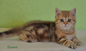 Goldene Whiskas BKH Katzen zu verkaufen