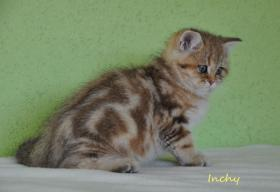 Foto 2 Goldene Whiskas BKH Katzen zu verkaufen