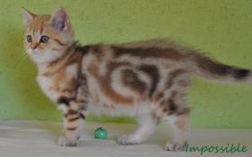 Foto 3 Goldene Whiskas BKH Katzen zu verkaufen