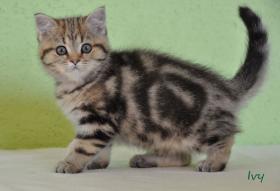 Foto 4 Goldene Whiskas BKH Katzen zu verkaufen