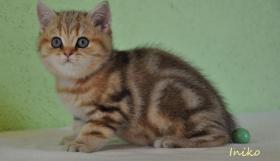 Foto 5 Goldene Whiskas BKH Katzen zu verkaufen