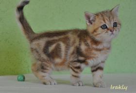 Foto 6 Goldene Whiskas BKH Katzen zu verkaufen