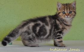 Foto 7 Goldene Whiskas BKH Katzen zu verkaufen