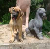Goldgelbe Deutsche Dogge, Hündin, 3 Monate mit VDH/DDC-Pap.