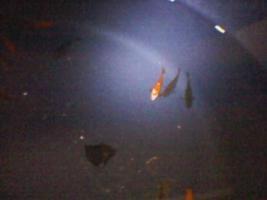 Foto 9 Goldkarpfen in verschiedenen Größen !!!
