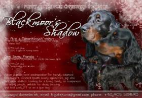 Foto 4 Gordon Setter mit Papiere - schöne Weihnachtswelpen