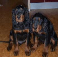 Gordon Setter Welpen