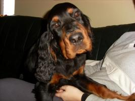 Foto 2 Gordon Setter Welpen