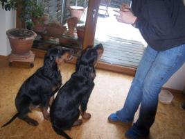 Foto 3 Gordon Setter Welpen
