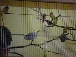 Gouldamadienen -Prachtfinken