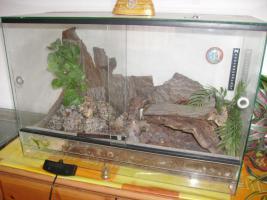 Foto 3 Grammostola porteri – weibl. Rote Chile Vogelspinne incl. Terrarium 60 cm