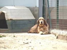 Foto 9 Grand Basset Griffon Vendéen - Mischling SAKI sucht ein Zuhause oder PS