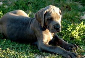 Foto 2 Great Dane – Deutsche Dogge Blue Puppies