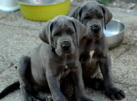 Foto 5 Great Dane – Deutsche Dogge Blue Puppies