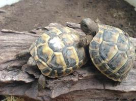 Griechische Landschildkröte und Breitrandschildkröten