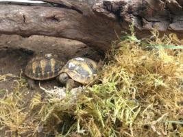 Foto 2 Griechische Landschildkröte und Breitrandschildkröten