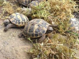 Foto 3 Griechische Landschildkröte und Breitrandschildkröten