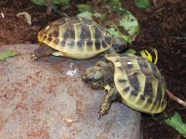 Foto 2 Griechische Landschildkröte Thherc Babys von 2009