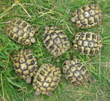 Foto 2 Griechische Landschildkröten