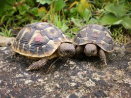 Griechische Landschildkröten – seltene Westrasse aus Südfrankreich