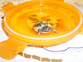 Griechische Landschildkröten 2009