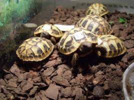 Foto 3 Griechische Landschildkröten 2009
