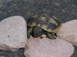 Griechische Landschildkröten von 2013 abzugeben