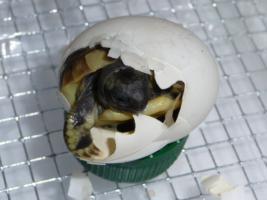 Foto 2 Griechische Landschildkröten von 2013 abzugeben