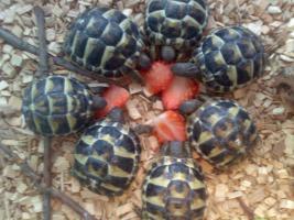 Griechische Landschildkröten-Babies