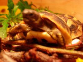 Foto 2 Griechische Landschildkröten-Babies