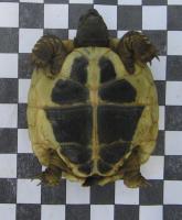 Griechische Landschildkröten (NZ 2003-2011)