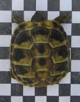 Foto 2 Griechische Landschildkröten (NZ 2003-2011)