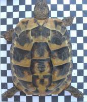 Foto 3 Griechische Landschildkröten (NZ 2003-2011)