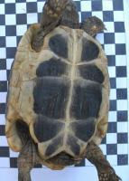 Foto 4 Griechische Landschildkröten (NZ 2003-2011)