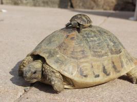 Foto 5 Griechische Landschildkröten (NZ 2003-2011)