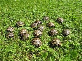 Foto 6 Griechische Landschildkröten (NZ 2003-2011)