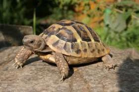 Griechische Landschildkröten NZ 2011