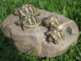 Griechische Landschildkröten Nachzucht 2015