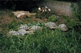 Foto 2 Griechische Landschildkröten Nachzuchten 2010/2011