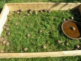 Griechische Landschildkröten Nachzuchten 2012/2013